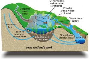 how wetlands work