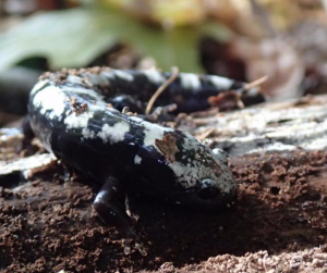 Marbled Salamander (WMAP)