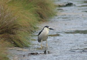 Black-crowned Night Heron in marsh.