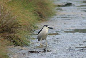 Black-crowned Night Heron in marsh.