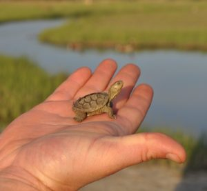 Terrapin in hand.