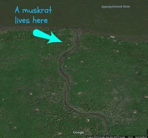 This aerial view shows all the muskrat homes (brown dots) on a small portion of the Appoquinimink watershed.