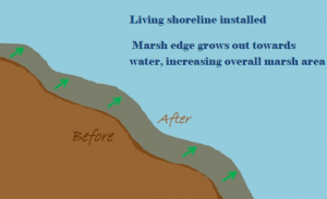 living shoreline marsh edge expansion graphic