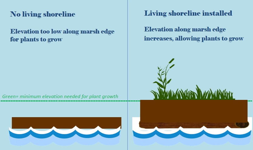 Living Shoreline Plant Height