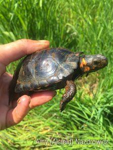 Adult Bog Turtle