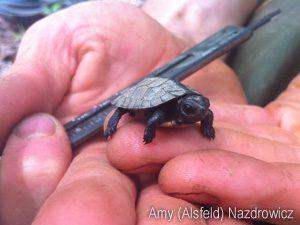 Hatchling Bog Turtle