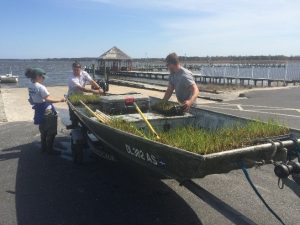 spartina-plants-about-to-head-out-to-be-planted