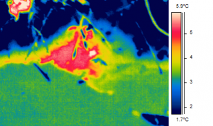 Spring on a perched floodplain along a tributary of White Clay Creek. A thermal Image.