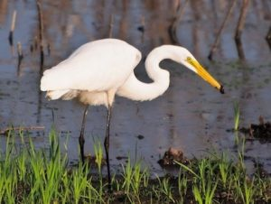 Great egret, The Cornell Lab of Ornithology