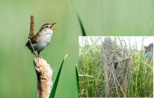 Marsh wren and nest