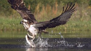 Osprey. Photo credit: The BBC