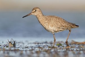 Willet, National Audubon Society