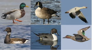 From left to right, top to bottom: Mallard, Canada Goose, Snow Goose, Brant, Pintail, Green-winged Teal Photo Credit: Audubon