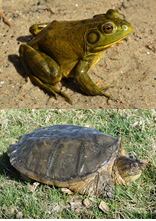 Top to bottom: Bullfrog and Snapping Turtle. Photo credit: South Dakota Game, Fish, & Parks