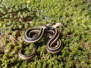 Common Ribbonsnake