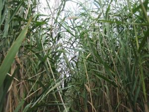 A dense stand of invasive common reed (Phragmites australis) in an estuarine wetland