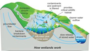 How wetlands work. Public Employees for Environmental Responsibility.