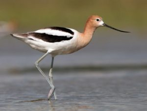 American avocet (Cornell Lab of Ornithology)