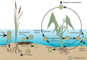 "A simplified illustration of the nitrogen and phosphorus cycles in a wetland (modified from Kadlec and Knight (1996), ""Treatment Wetlands""; images from IAN, University of Maryland)."