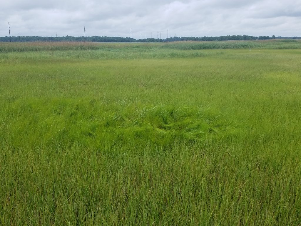 Saltmarsh hay. Previously Spartina patens; now, Sporobolus pumilus.