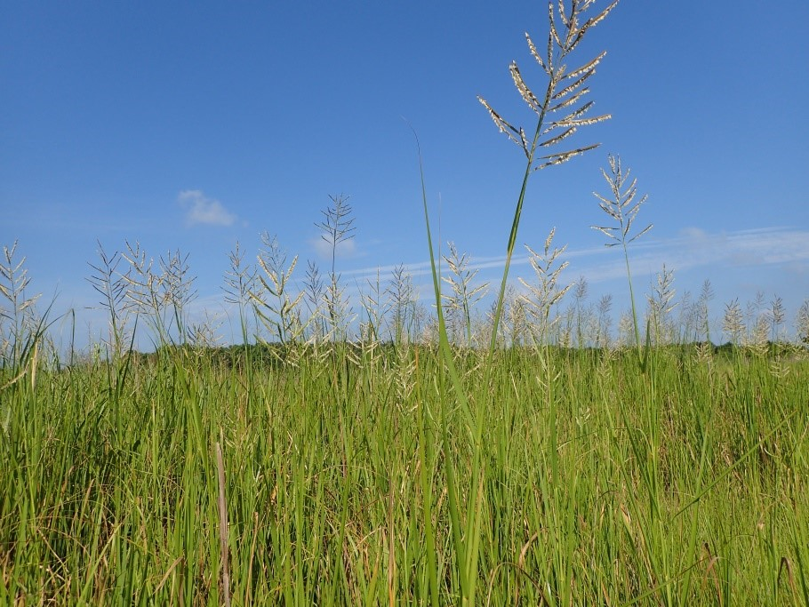 Big saltmarsh cordgrass. Previously Spartina cynosuroides; now, Sporobolus cynosuroides.