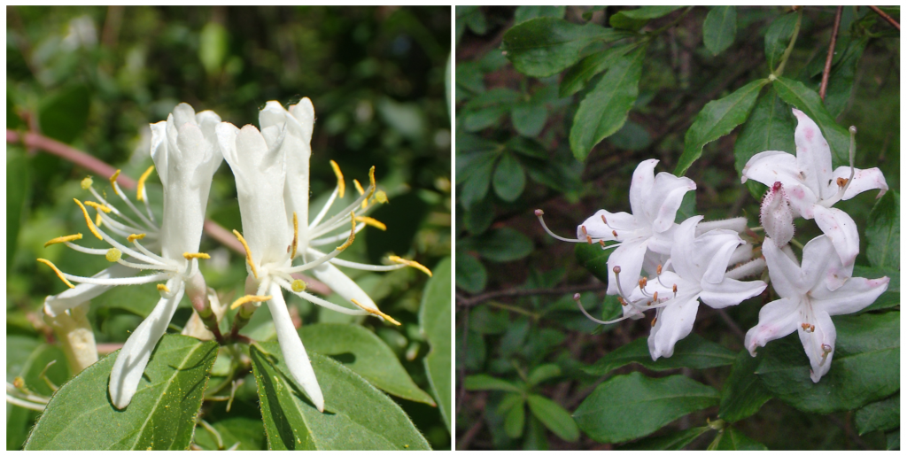 Replace invasive Japanese honeysuckle (left) with a native honeysuckle or swamp azaleas (right, photo by Bill McAvoy). Swamp azalea is a medium shrub that have fragrant blooms in the summer and colorful leaves in the fall.