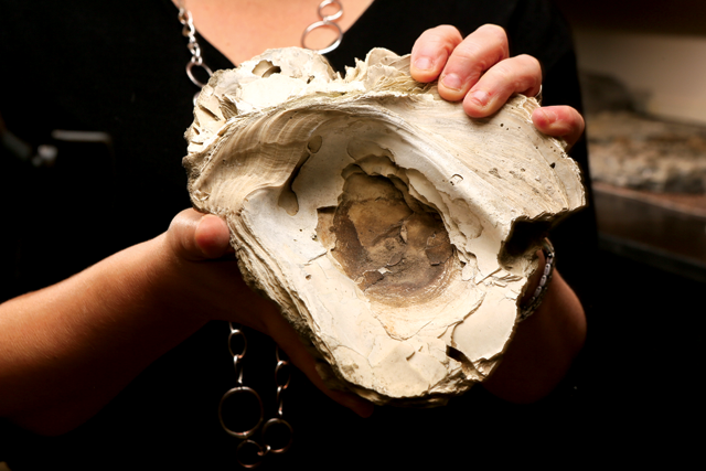 Before the 1880s, when people began to dredge oysters, some of the mollusks grew to gargantuan sizes — up to about 30 centimeters.   Fossilized oyster shells retain the bands by which scientists can track the annual growth.  (Credit: Stephen Salpukas,  Sources: The College of William & Mary & Earth Magazine)
